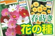春巻き花の種子