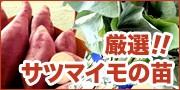 サツマイモ苗!