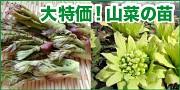 大特価!山菜の種