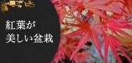 紅葉が美しい盆栽