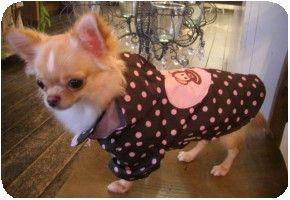 モデル犬チワワのティアラちゃん