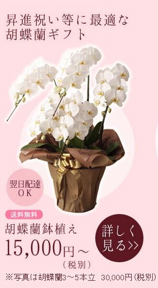 昇進祝い等に最適な胡蝶蘭ギフト 胡蝶蘭鉢植え