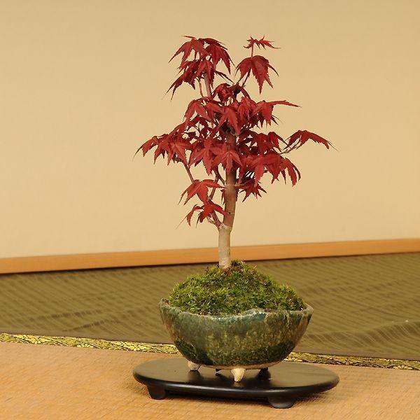 小品盆栽:出猩々もみじ*(信楽焼鉢 瀬戸焼鉢)鉢が選べる  鉢植え  紅葉狩り プレゼントにも|y-bonsai|09