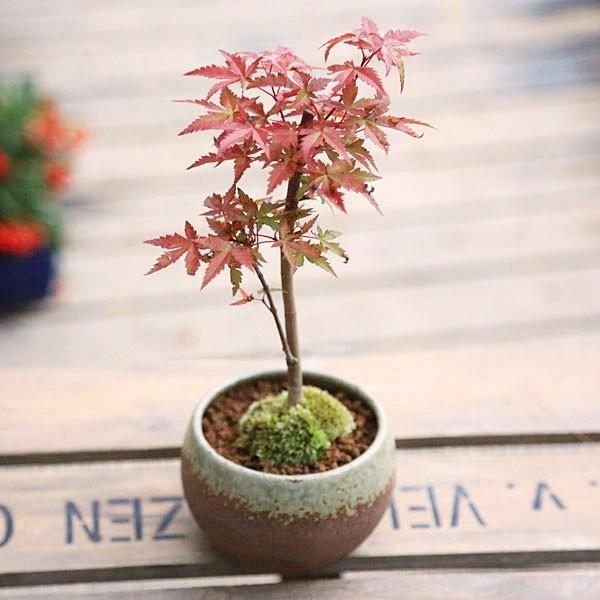 小品盆栽:出猩々もみじ*(信楽焼鉢 瀬戸焼鉢)鉢が選べる  鉢植え  紅葉狩り プレゼントにも|y-bonsai|10