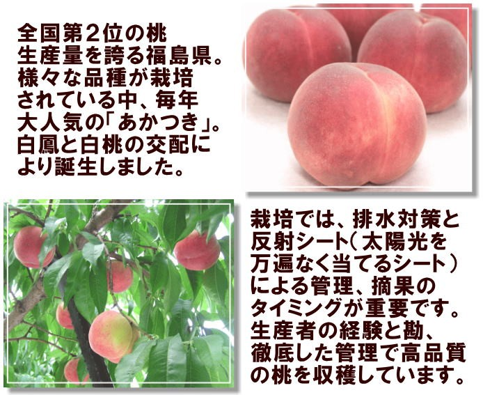 全国第2位の桃生産量を誇る福島県。様々な品種が栽培されている中、毎年大人気の「あかつき」。白鳳と白桃の交配により誕生しました。栽培では、排水対策と反射シート(太陽光を万遍なく当てるシート)による管理、摘果のタイミングが重要です。生産者の経験と勘、徹底した管理で高品質の桃を収穫しています。
