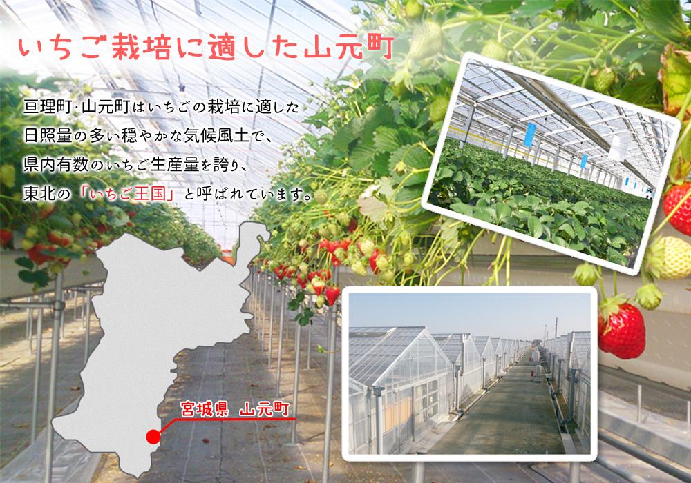 いちご栽培に適した気候風土の山元町・亘理町