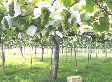 白州のワイン畑