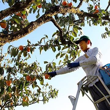 大和百目柿の収穫の様子