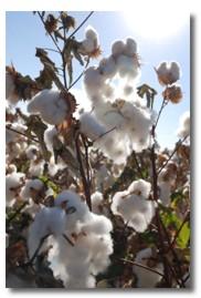 オーガニックコットンの綿花