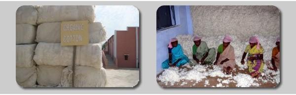 オーガニックコットンの原綿採取