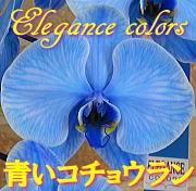 特選青いコチョウランの鉢植え