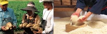 焼酎の原料となる芋と大麦の写真